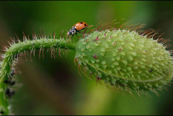 ladybug on poppy